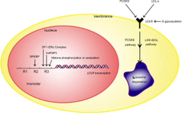 Full text] Therapeutic targets of hypercholesterolemia